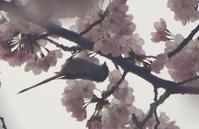 桜 - ちいさな森-mode:κ-