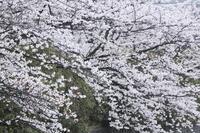 京都岡崎の桜2017 その1 - 春の風