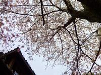 商家の桜 - 商家の風ブログ