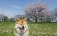 ここの桜 3年目 - 雲間に覗く青