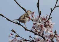 櫻の花を、、 - ぶらり探鳥