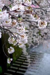 桜さんぽ 目黒川 - うひひなまいにち