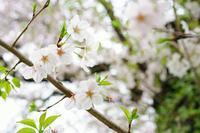 雨上りのアンジェ~②桜とマグノリア - 柳に雪折れなし!Ⅱ