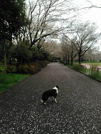 【犬】サクラと・・ - 人生を楽しくイきましょう!