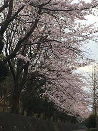 桜満開 - 手をつなぎ とことこ散歩