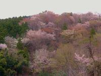 山桜と温泉 - 白壁荘だより  天城百話