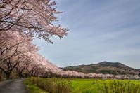巾着田の桜 - デジカメ写真集