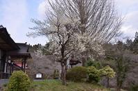 梅は満開,桜は・・・ - 栗駒山の里だより