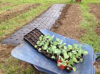 キャベツとレタスとブロッコリーと葉物定植 - にじまる食堂 & にじまる農園