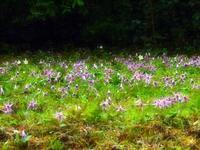 カタクリの花とイチリンソウ - つれづれ日記