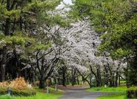桜 - ぼくの写真集2・・・Memory of Moment