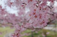 やっと咲きました - yoshiのGR散歩
