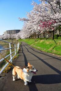 お花見散歩2017 - むーちゃんパパのブログ 3