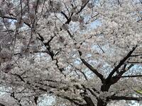 なぜ桜花爛漫は閑寂なのか 大岡信「日本詩歌紀行」 - 梟通信~ホンの戯言