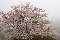 4/8 桜と鳥 (4/10記) - ゆるるばってん沈まんばい的生活 in 対馬