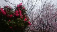桜と椿のコラボ - 自分流 Happy Life