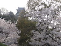 桜・・さくら Cherry blossoms - 大橋みゆき  音楽の花束をあなたに・・・