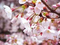 雨でも美しくて・・・sakura - RoseBijou-parler*blog
