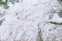京都 御所の枝垂れ桜。 - *ぷるはあと*