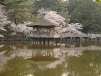 桜三昧 - 南都☆花模様