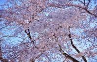 桜咲く 4 - 天野主税写遊館