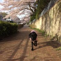 今日のりにゃいろ・・・まだまだ桜 - Talklab☆ニコのちゅーす!