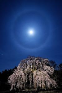 月暈と枝垂れ桜 - Qualia