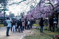 奈良一番桜2017 #01 - noBBy's *PhotoLabo*