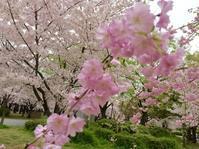 今日は、主人と二人で大阪城の桜を見て来たよ - あん子のスピリチャル日記