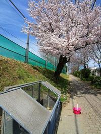 桜が見ごろです - ごまめのつぶやき