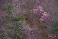 夏井川の岩躑躅・・・ - ぶらりカメラウォッチ・・