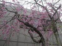 久々にお庭から*春爛漫 - 櫻乃園だより