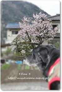 April  My garden&Ema - エマままの気ままな日記