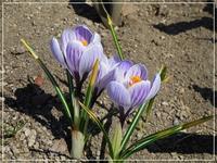 雪が解けて小さな春がやってきました(^^♪ - はあと・ドキドキ・らいふ