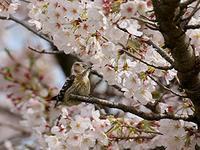 満開の桜と  コゲラ - 頑固親父の探鳥記