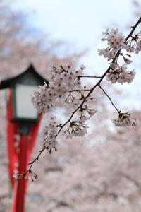 ご近所お寺さんの桜満開♪ 2 - Let's Enjoy Everyday!