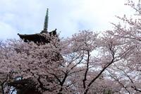 ご近所お寺さんの桜満開♪ 3 - Let's Enjoy Everyday!