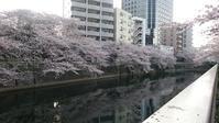 今日の桜♪ - 新 LANILANIな日々