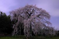 夜の枝垂れ桜 - アオイソラ