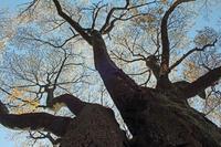 写真家・島村国治がほぼ満開の夫婦桜を撮った!4・4 - 北鎌倉湧水ネットワーク