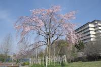 「雨の前日の桜」 - hal@kyoto