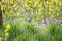 花いっぱいの河川敷でモズ - T/Hの野鳥写真-Ⅱ