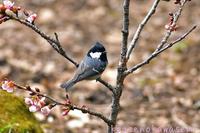 桜にヒガラ - 気ままな生き物撮り