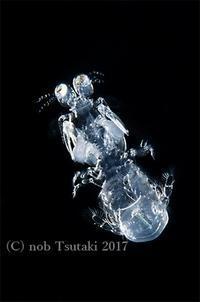 シャコ(の仲間)の幼生 - feel the SEA - petit Album -