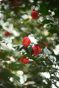 不動尊の椿の花 - THE FL LENS WAKU WAKU Mark II