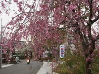 桜 - エンジェルの画日記・音楽の散歩道