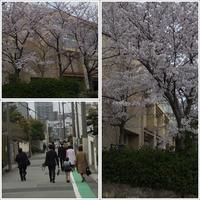 間に合った桜 - 舞ときらりと琴