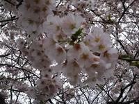 桜と魚を満喫 - むさじんの部屋