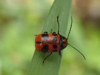 クロボシツツハムシ  Cryptocephalus signaticeps - 写ればおっけー。コンデジで虫写真