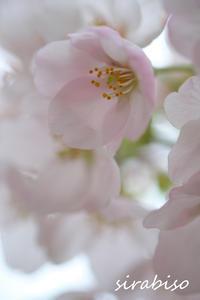 桜色 - 小さな森の写真館 (a small forest story)